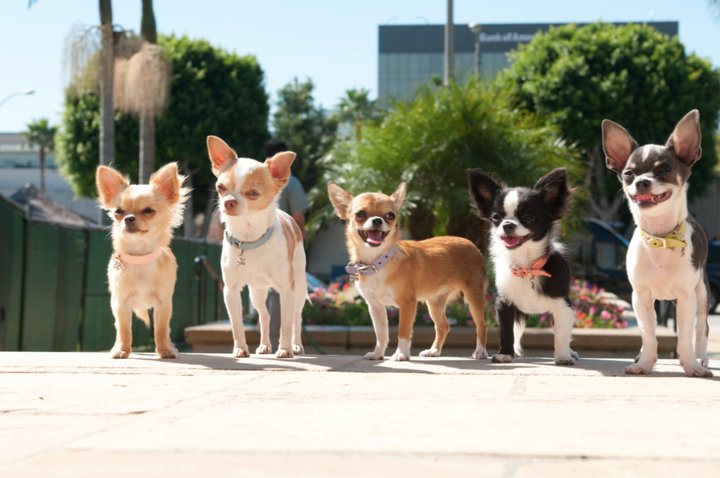 LoveBug Chihuahuas - chihuahua puppies- in <California>