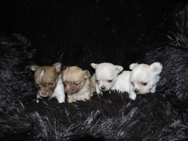 Lovebug Chihuahuas Chihuahua Puppies In California